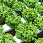 dutch hydroponic indoor farming