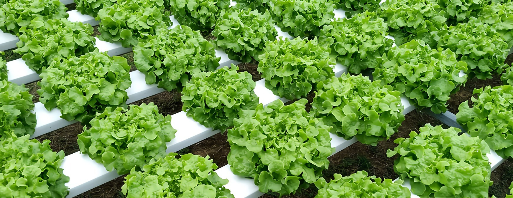 dutch hydroponic indoor farming
